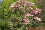 Pink Dogwood Tree Blossoms near the Lilac Collection