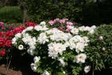 Peony Blossoms