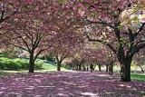 Cherry Tree & Peony Gardens