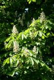 Chestnut Trees - Brooklyn Botanical Gardens