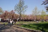 Cherry Tree Esplanade