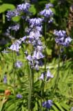 Bluebells - Brooklyn Botanical Gardens