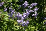 Rock Garden - Bluebells