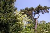 Rock Garden - Dogwood & Pine Trees