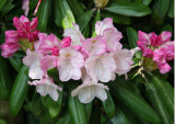 Rock Garden - Rhododendron Blossoms