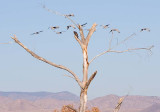 Aplomado Falcon Watching Sandhill Cranes Fly