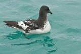 Cape Pigeon 0045