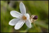 Strumaria spiralis, Amaryllidaceae