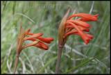Cyrtanthus macowani near Somerset East, Amaryllidaceae