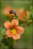 Jamesbrittenia aurantiaca, Scrophulariaceae