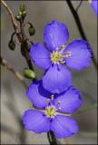 Heliophila sp., Brassicaceae