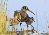 Greater Painter Snipe and babies