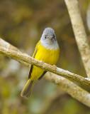 Grey-headed Canary  Flycatcher (方尾鶲)