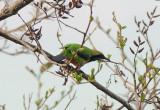 Orange-bellied Leafbird (橙腹葉鵯)