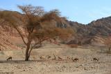 1.jpgéòì ðåáé  Capra nubiana