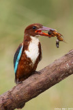 White throated King_fisher with river frog8990.jpg