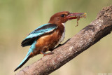 White throated King_fisher with river frog9086.jpg