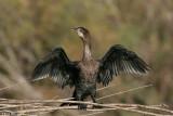 Phalacrocorax pygmaeus7283.÷åøîåøï âîãé