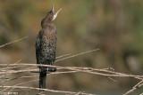 Phalacrocorax pygmaeus7287.÷åøîåøï âîãé