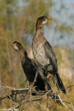Phalacrocorax pygmaeus7379.÷åøîåøï âîãé
