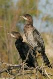 Phalacrocorax pygmaeus7376.÷åøîåøï âîãé