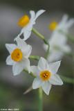 Narcissus 8223.ðø÷éñ îöåé