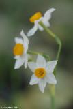 Narcissus Ahihud forest .ðø÷éñ îöåé