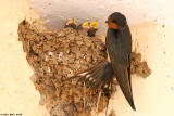 Barn_swallow nestling feeding 2978.jpg