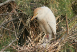 _egret_cattel_with_nestling3813.jpg