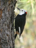 White headed woodpecker (male)