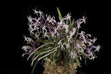 20082988 Neofinetia falcata var Shutennaun 'High Five' CCM/AOOS 88 points