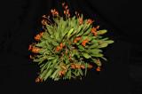 20083398 - Pleurothallis lanceola -- CCM/AOS  82 points