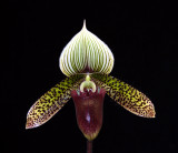 20106712  Paph. Raisin Cain  'Starks Tanven'  AM/AOS 81  pts.