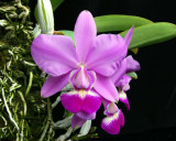 20105411   Cattleya walkeriana Var. delicata  'Mark Trevor Ranum' AM/AOS 86 pts.