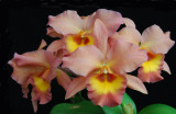 20105410    RTH  Zul  'My Bill'  HCC/AOS 77 pts.  (BLC)