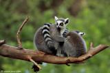 Lemur leisure time
