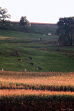 Cows on a Wisconsin Hillside