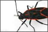 Box Elder Bug in My Basement