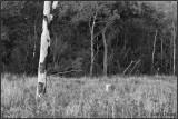 The Holstein Tree