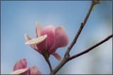 Magnolia #2