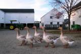 Five Geese at Codman Farm