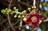 Flower of the cannonball tree @ the Royal Palace, Phnom Penh