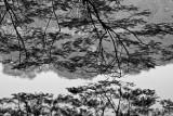 Tree overhanging Hoan Kiem Lake