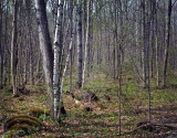 Nicolet Forest in the Springtime