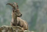 alpine_ibex