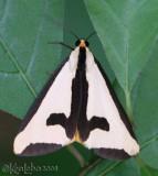 Clymene Moth Haploa clymene #8107