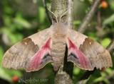 Big Poplar Sphinx Pachysphinx modesta #7828