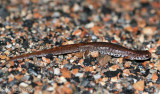 Four-toed Salamander on the shoulder of the road.