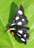 Eight-spotted Forester Alypia octomaculata #9314