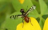 Signal Fly Platysomatid/Rivellia